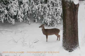 Rob Paine Deer In Snow