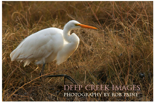 rob-paine-white-egret-chincoteague