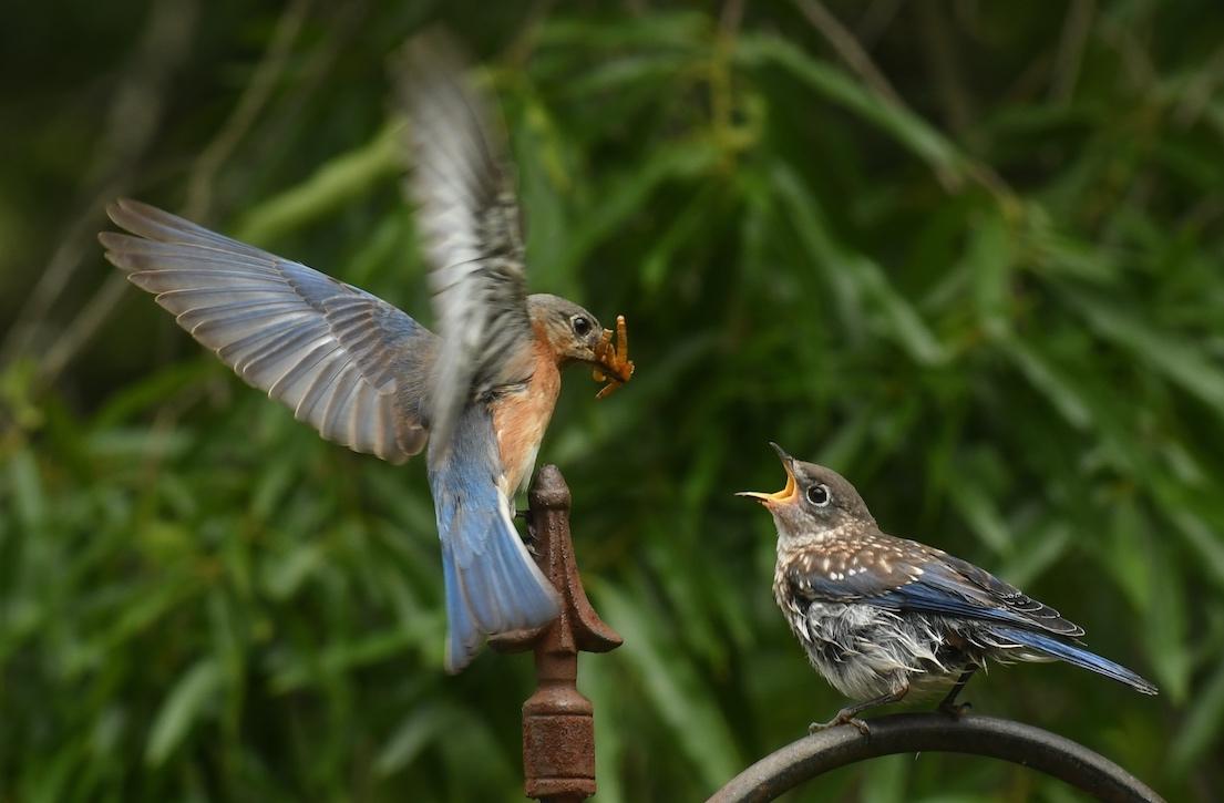 Memorial Day Picnic for BabyBluebirds